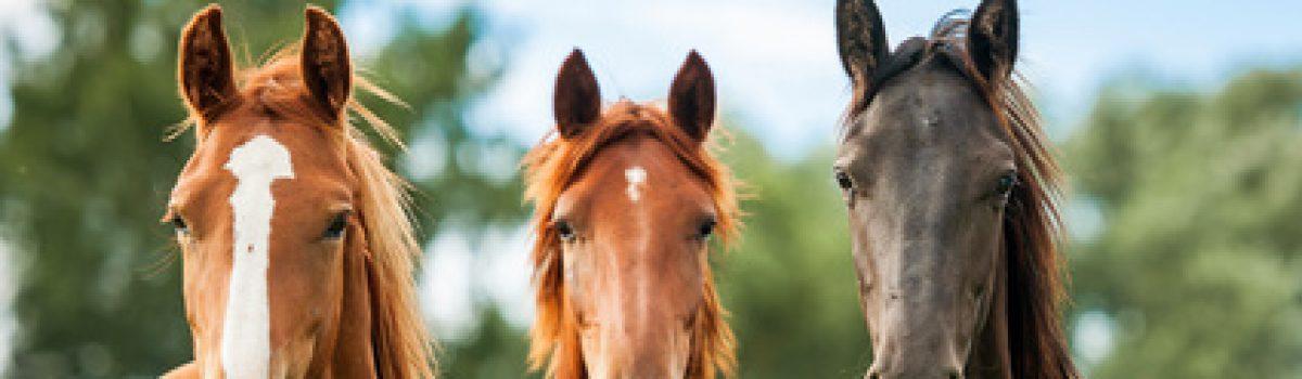 Haftung bei fehlerhafter Eingliederung eines Pferdes in eine bestehende Gruppe