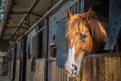 kopfscheues Pferd